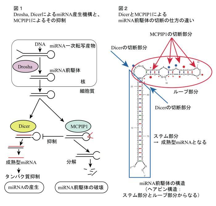 小さなRNA破壊の仕組みを解明 ―...