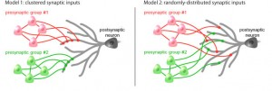 Two possible models of synaptic connections. This research has demonstrated conclusively that the cluster input model on the left is correct. © Yuji Ikegaya