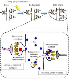 "A dynamic CaMKIIβ-Arc interaction for glutamate receptor regulation. Rather than targeting strong synapses, up-regulated Arc targets weak synapses, and contributes to facilitating removal of glutamate receptors from the inactive postsynaptic membranes. The β isoform of CaMKII (CaMKIIβ) in the inactive synapse critically mediates such an ""inverse"" synaptic tagging process. © Haruhiko Bito"