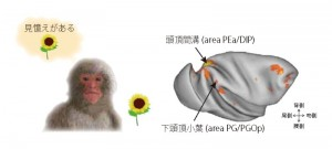 Recognition memory is the ability to recognize previously encountered items. Two areas in the macaque posterior parietal cortex (intraparietal sulcus, inferior parietal lobule) were activated during correct recognition.© Kentaro Miyamoto