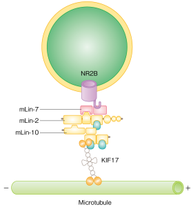 Figure 2: KIF17 coupling mechanism with vesicle NR2B (part of an NMDA receptor).