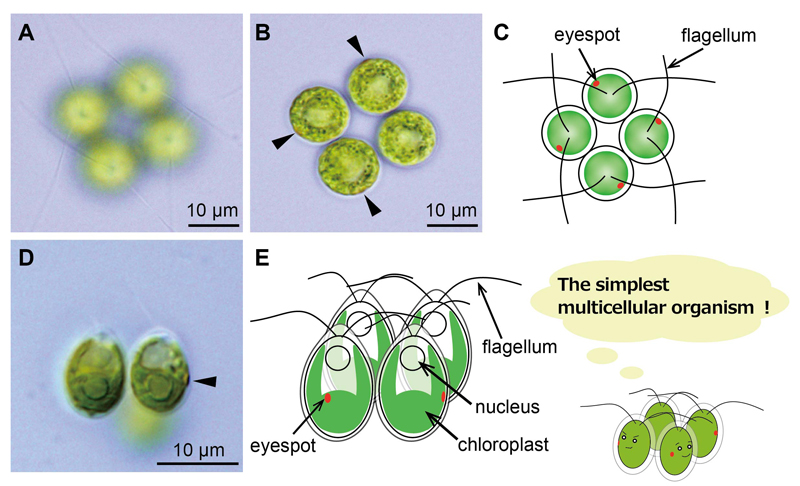 origin of multicellular eukaryotes Origin of eukaryote expand a single-celled or multicellular organism whose cells contain the cells of eukaryotes also contain an endoplasmic reticulum and.