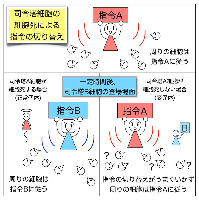 スケジュールされた司令塔細胞の消去 | 東京大学