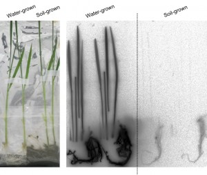 Photo 1: Comparison of cesium uptake in soil-grown and water-grown rice. Soil-grown rice with roots extended into the soil did not absorb cesium even when the soil and the water in contact with it contained cesium. In contrast, water-grown rice, without soil around its roots, did absorb cesium contained in the water contacting the roots. (c) Natsuko I. Kobayashi.