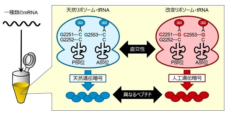 通常(天然)のリボソーム・tRNAと改変リボソー... 2014 菅 裕明 通常(天然)のリボソ