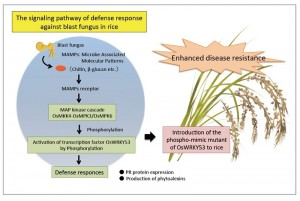The signaling pathway of defense response against blast fungus in rice. The OsMKK4-OsMPK3/OsMPK6 cascade regulates transactivation activity of OsWRKY53, and overexpression of the phospho-mimic mutant of OsWRKY53 leads to activation of a defense response against the blast fungus in rice plants.
