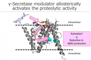 Phenylimidazole-type γ-secretase modulator targets to the extracellular side of presenilin, a catalytic subunit, and allosterically induces a conformational changes at the intramembrane catalytic site to reduce Aβ42 production from neurons.