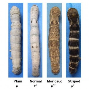 Four different mutants of the p allele of silkworm