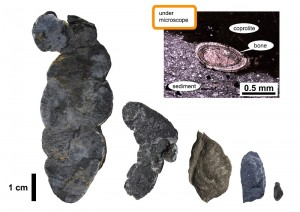 Coprolites (fossil feces) of various sizes, and a microscope image (upper right), showing a vertebrate bone included in a coprolite.