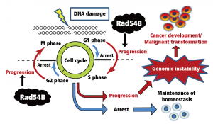 Regulation of the cell cycle in the DNA damage response. While mechanisms exist to arrest the cell cycle upon DNA damage, Rad54B instead inactivates the mechanism of cell cycle arrest and promotes cell cycle progression, thereby enhancing survival of the cells carrying genomic instability. The survival of such cells could be the first step of cancer development or malignant transformation of tumours.