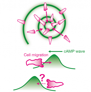 Dictyostelium cells aggregate by moving towards the propagating waves of chemoattractant cyclic AMP (cAMP) (top).  If the direction of cell motion is dictated solely by the gradient of attractant concentration, cells should move in the reverse direction on the back of the wave (bottom) and would thus be unable to gather together. The work revealed that cells are able to discriminate between the front and the back of the wave mainly by ignoring attractant gradients that are decreasing over time.