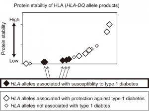 The graph shows protein stability of HLA (HLA-DQ) measured for the major HLA alleles  in Japanese and European populations. HLA proteins are displayed in order of increasing protein stability (x-axis) with estimated protein stability of HLA plotted on the y-axis. This study revealed that HLA alleles that are associated with type 1 diabetes mostly encoded unstable proteins, whereas HLA alleles that are associated with protection against type 1 diabetes generated extremely stable proteins.