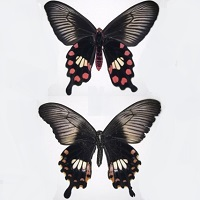 Riddle of mimicry of unpalatable butterfly