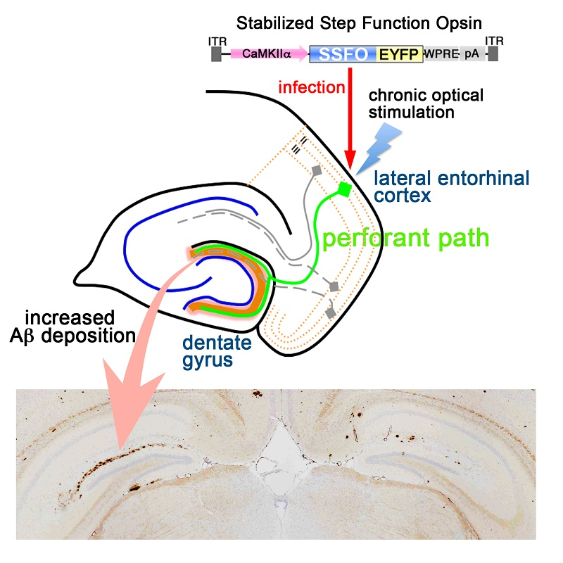 © 2015 Takeshi Iwatsubo et al.The gene encoding the protein channelrhodopsin, that elicits neuronal activation by optical stimulation, was introduced into the lateral entorhinal cortex of AD model mice. After 5 months of stimulation with light, amyloid β deposition increased in the dentate gyrus of the hippocampus (visualized in brown, arrow), was increased.