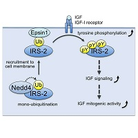 Novel regulatory mechanisms of animal growth and cell proliferation