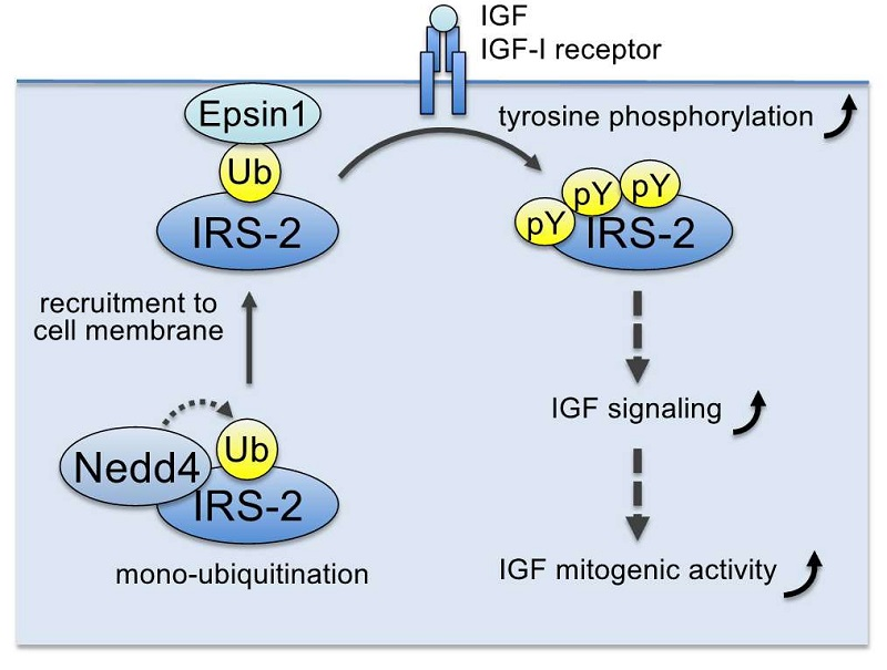 © 2015 Shin-Ichiro Takahashi.Ubiquitin ligase Nedd4 induces monoubiquitination of IRS (specifically, IRS-2), which promotes its association with Epsin1, a ubiquitin-binding protein at the plasma membrane. This enhances IGF-I receptor-induced IRS tyrosine phosphorylation and IGF signalling.