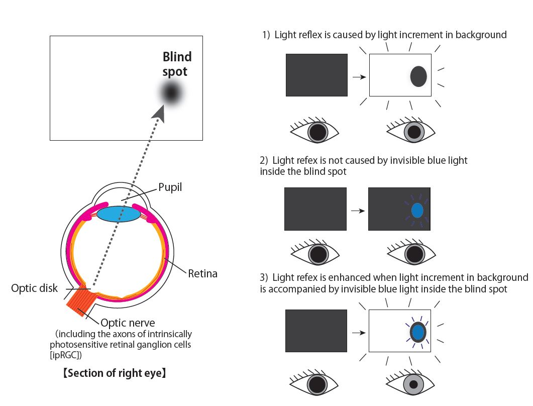 © 2015 Ikuya Murakami.Left: Relationship between the blind spot and the optic disk. Right: summary illustrations of results. In each panel, white and blue lights indicate the light stimuli presented outside and inside the blind spot, respectively.