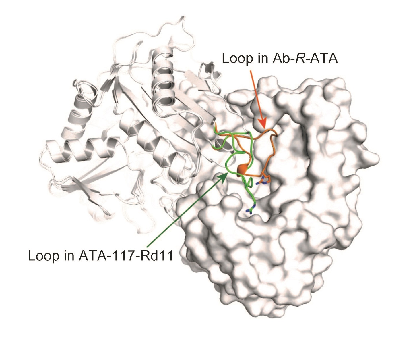 © 2015 Masaru Tanokura.Superimposed dimeric structures of Ab-R-ATA and ATA-117-Rd11. One protomer of the dimer is shown in surface representation (right) and the other is drawn as a ribbon diagram (left). The loops near the active sites of Ab-R-ATA and ATA-117-Rd11 are highlighted in orange and green, respectively, clearly showing the difference in structure.