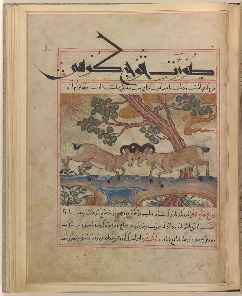 Figure 1: Manāfiʻ-i ḥayavān., (Uses of Animals). Manāfiʻ-i ḥayavān., (Uses of Animals) is a scientific text that discusses the medicinal uses of many different animals. It is the oldest extant example of manuscript painting from the Ilkhanid period. A notable characteristic is the intermixing of a sectional view, used traditionally by the artists of western Asia, and a bird's-eye view, which was an imported technique. (In this painting, the tree and body of the rock are examples of the former, while the upper surface of the rock and the mountain rams standing on it are examples of the latter.) Through careful analysis, Masuya confirms that three artists worked on this manuscript, one painting in the traditional style, the other two in the imported style. Ibn Bakhtīshūʻ, ʻUbayd Allāh ibn Jibrā'īl. Manāfiʻ-i ḥayavān., fol. 37r, Mountain Rams. Maragheh, Iran, 1297-1298 or 1299-1300, and 19th cent. Credit: The Pierpont Morgan Library, New York. MS M.500, fol. 37r. Purchased by J. Pierpont Morgan (1837-1913), 1912.