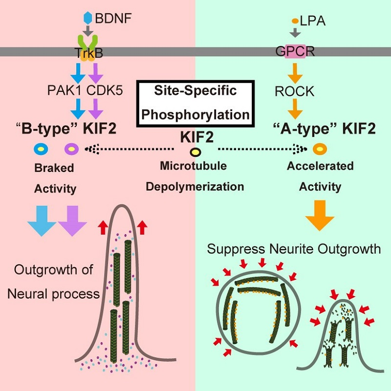 © 2015 Hirokawa Lab, The University of Tokyo.Under BDNF stimulation, which induces growth of neuronal projections, PAK1 and CDK5 kinases phosphorylate specific sites on KIF2, acting as a brake suppressing KIF2's microtubule depolymerization activity. Under LPA stimulation, which suppresses the growth of neuronal projections, ROCK kinase phosphorylates phosphorylates a different site on KIF2, acting as an accelerator encouraging KIF2's microtubule depolymerization activity.