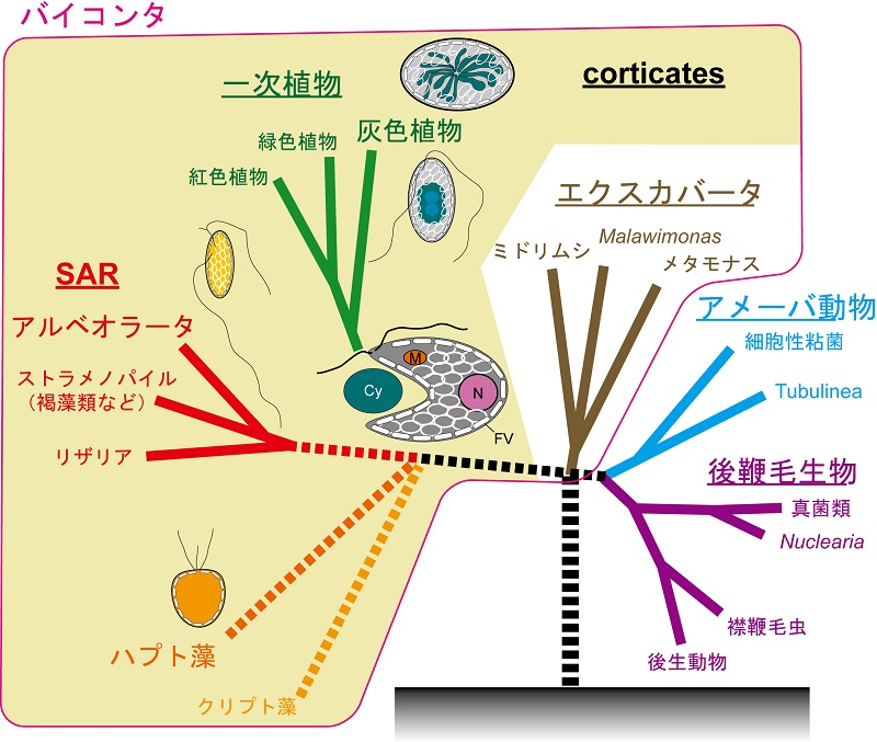 © 2015 高橋紀之シアノバクテリアを取り込み葉緑体にしたとされている最初の植物細胞(一次植物の祖先)が今回灰色植物で明らかになったような細胞膜を密に裏打ちする扁平小胞をもつ単細胞生物であったと考えられる。同様の細胞膜を裏打ちする構造が二次植物のハプト藻類等でも認められる。Cy, シアノバクテリア; Fv, 扁平小胞; m, ミトコンドリア; N, 核。