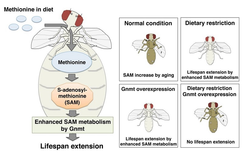 © 2015 Obata Fumiaki.SAM is synthesized from methionine consumed as part of a healthy diet. GNMT is the enzyme that catabolizes excess SAM to maintain a constant level of the metabolite. GNMT activation enhances SAM metabolism and extends lifespan in Drosophila (fruit flies).