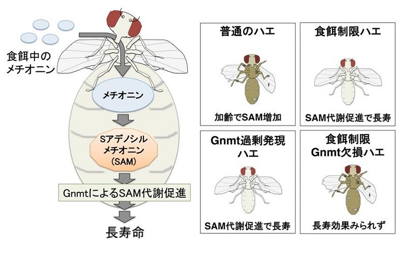 © 2015 小幡史明食餌中に含まれるメチオニンは、体内でSAMに変換される。GNMTは余剰なSAMを代謝して制御する酵素である。GNMTが活性化しSAMの代謝・消費が促進されるとショウジョウバエの寿命が延びる