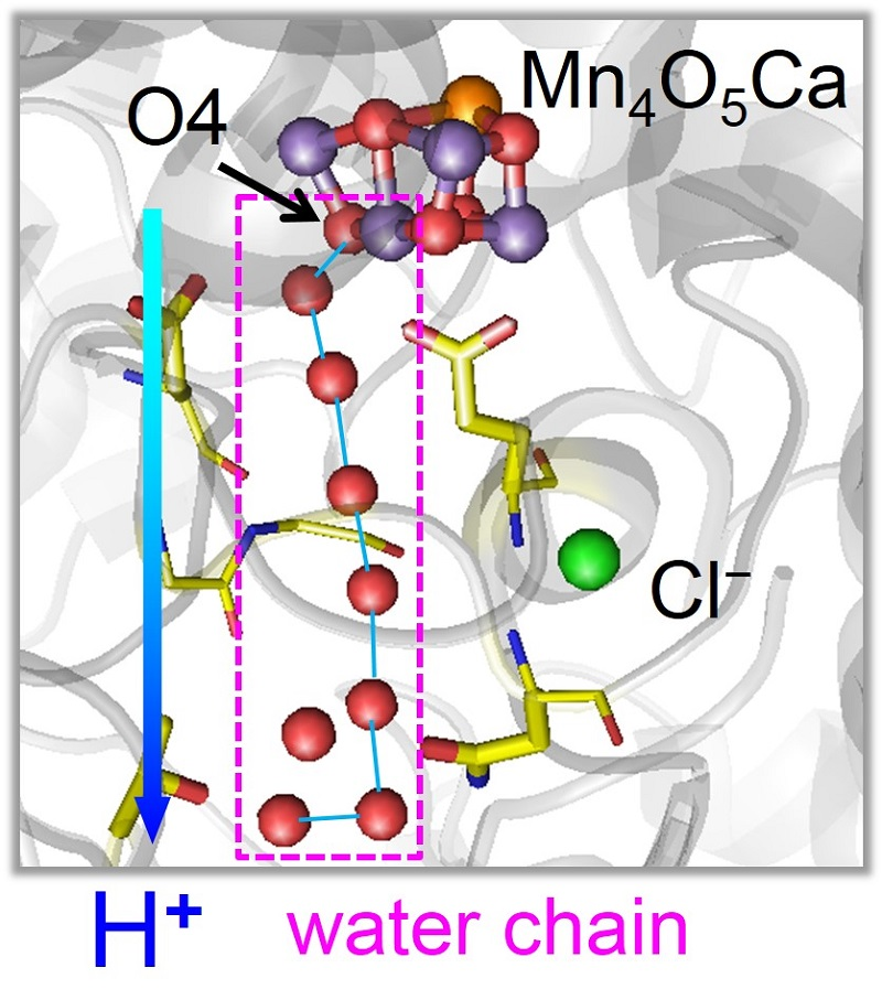 © 2015 Hiroshi Ishikita.In the first stage reaction, a proton is released along a chain of water molecules proceeding from O4 in the Mn4CaO5 cluster. Oxygen atoms of water molecules are depicted as red balls.