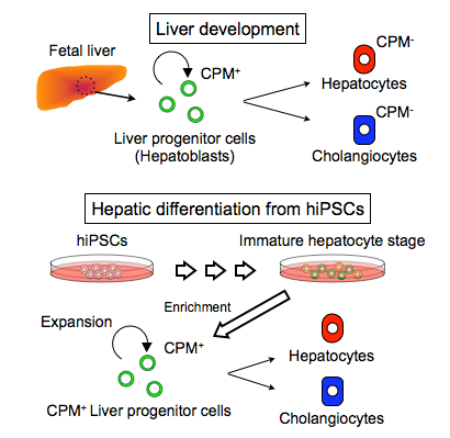 © 2015 Taketomo Kido.(Above) Expression of CPM during liver development (Below) Generation of hepatocytes and cholangiocytes from hiPSC-derived CPM+ liver progenitor cells.