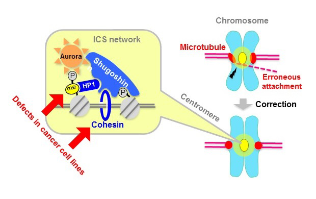 © 2015 Yoshinori WatanabeThe ICS network is formed by recruiting the proteins shugoshin and Aurora-kinase to the centromeres of chromosomes. Aurora plays a role in correcting erroneous microtubule attachment. Cohesin and HP1 sustain the stability of this network by directly binding to shugoshin. These pathways are impaired in a number of cancer cell lines.