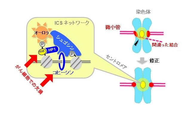© 2015 渡邊嘉典染色体のセントロメアにシュゴシン・オーロラキナーゼの複合体が局在し、ICSネットワークが形成される。オーロラキナーゼは、誤った微小管とセントロメアの接着を修正する働きがある。コヒーシンとHP1が、直接シュゴシンと結合してこのネットワークの安定性を支えている。がん細胞株の多くで、これらの安定化経路に欠損が見られた。