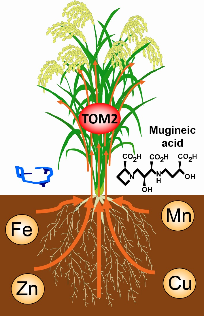 © 2015 Tomoko Nozoye.TOM2 is localized to tissues involved in metal translocation within the plant body. TOM2 may play a role in metal transport through secretion of mugineic acid family phytosiderophores. Plants that could not produce sufficient TOM2 showed dramatic growth defects, indicating that TOM2 is necessary for normal plant growth.