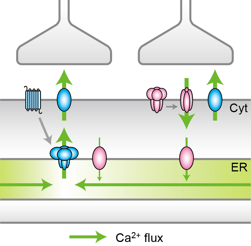 © 2015 Iino Lab, The University of Tokyo.(Left) A synaptic input induces the local depletion of Ca2+, which is followed by diffusion from the surrounding region. (Right) Another synaptic input induces the uptake of Ca2+ from the cytoplasm (Cyt) to ER via Ca2+ pump, followed by the accumulation and the maintenance of Ca2+ within ER.