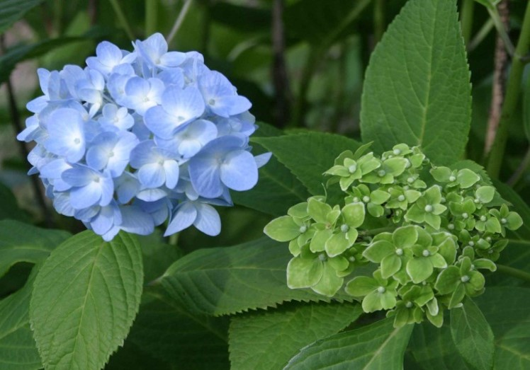 Figure 5: A healthy hydrangea (left) and a hydrangea showing phyllody due to phytoplasma infection (right) In research conducted by Himeno into the gene expression that occurs on the plant side when phyllody occurs, she found that the plant gene that changes leaves into flowers was only weakly expressed, and conjectured that phytoplasma causes phyllody by blocking the effect of this gene. This conjecture subsequently led to the discovery of the phyllogen protein. © 2016 Laboratory of Plant Pathology, Graduate School of Agricultural and Life Sciences, The University of Tokyo.