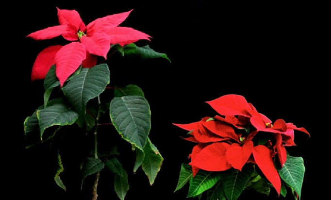 <strong>The red-flowering poinsettia, a common sight as Christmas approaches</strong><br>The poinsettia normally grows to a height of about 2 meters (left), making it unsuitable for indoor growing. When infected by phytoplasma, the poinsettia plant is shorter and has numerous small branches (right). <br>&copy; 2016 Laboratory of Plant Pathology, Graduate School of Agricultural and Life Sciences, The University of Tokyo.