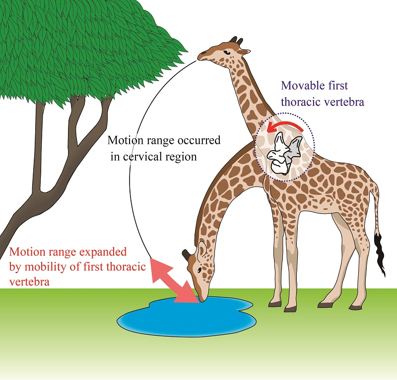 © 2016 Megu Gunji.Functioning as an eighth neck vertebra, the first thoracic vertebra contributes to enlarging the reachable space of the head and neck by about 50 cm, and enables eating leaves from treetops and drinking water on the ground, conflicting requirements that are characteristic of the giraffe's lifestyle.