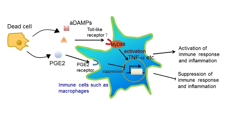 © 2016 Sho Hangai.Dead cell-derived PGE2 functions as an inhibitory DAMP (iDAMP).  Immune responses to cell death are modulated by an interplay between iDAMP and activating DAMP (aDAMP).