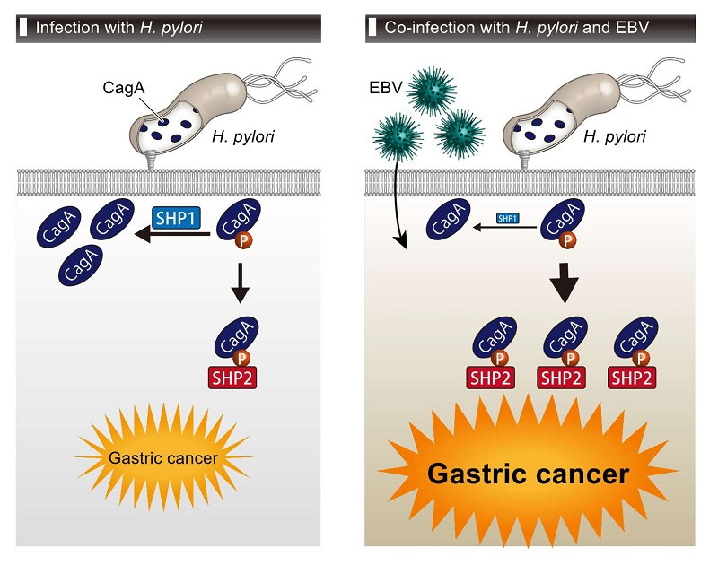 © 2016 Masanori Hatakeyama.CagA is delivered into gastric epithelial cells, where it undergoes tyrosine phosphorylation. Tyrosine-phosphorylated CagA interacts with SHP2, a bona fide oncoprotein, and thereby exerts its oncogenic action. On the one hand, SHP1 tyrosine-dephosphorylates CagA and thereby subverts the oncogenic activity. Infection of gastric epithelial cells with EBV induces epigenetic silencing of SHP1 expression, which augments the oncogenic action of H. pylori CagA.