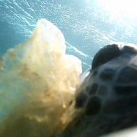 Sea turtles feeding habits influence reaction to marine debris