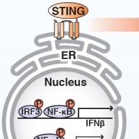 New mechanism of innate immune system activation