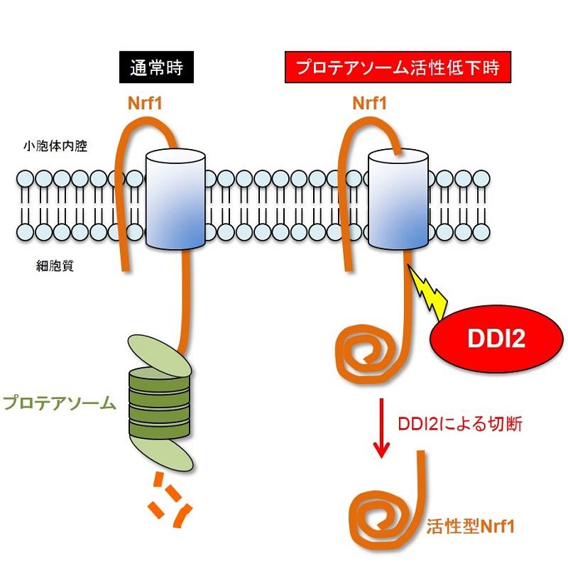 © 2016 Shigeo Murata.転写因子Nrf1は通常、プロテアソームにより分解される。プロテアソームの活性が低下するとNrf1が蓄積し、DDI2により切断され、小胞体から移動して核で転写因子として機能する。
