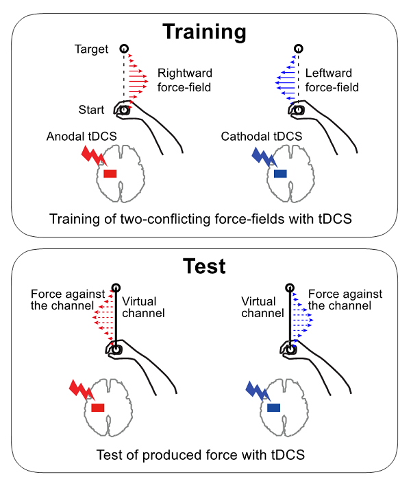 © 2016 Daichi Nozaki.Through repetition, a participant trains his arm movement to adapt to the rightward or leftward force field associated with contrasting tDCS polarity (top). After a sufficient amount of training, the force associated with polarity is automatically elicited when tDCS is applied (bottom).
