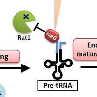 Unexpected modification to support maturation of transfer RNA