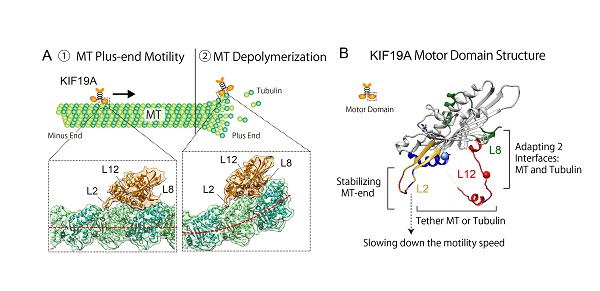 © 2016 Nobutaka Hirokawa(A) KIF19A moves along the microtubule (MT) and depolymerizes the microtubule when it reaches the plus end. The flexible binding surface of KIF19A adapts to both the microtubule and tubulin (microtubule-forming protein) interface.