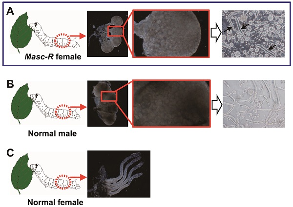 © 2016 Masataka Suzuki. A. Testis-like gonads are found in female silkworms carrying the Masc-R gene (left photo). An enlarged image (middle photo) reveals the testis-like tissues are filled with small follicles similar to those found in testes. The tissues contain considerable numbers of sperm bundles (right photo, black arrows). B. The testis of a normal male silkworm is composed of four chambers (left photo), and each chamber is filled with a large number of follicles containing sperm (middle photo). The testis contains a large number of long, narrow sperm bundles (right photo). Each bundle holds several hundred sperm. C. The ovary of a normal female silkworm is composed of four tubular ovarioles.
