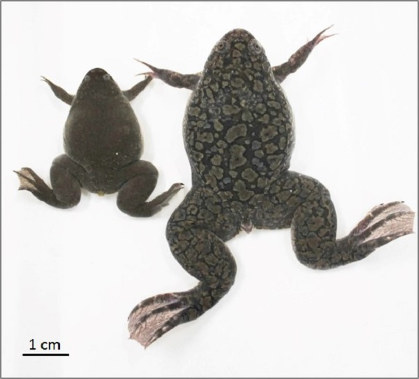 © 2016 Shuji Takahashi.Though similar in appearance, the tetraploid Xenopus laevis adult female is noticeably larger than its counterpart in the related diploid species Xenopus tropicalis.