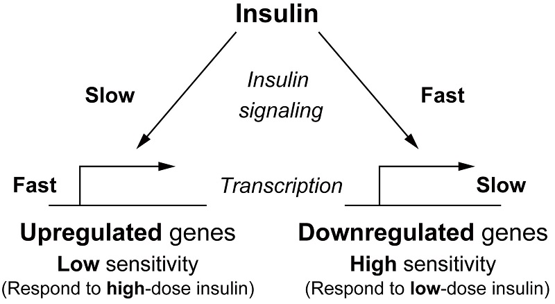 © 2016 Shinya Kuroda.Up-regulated genes may respond to postprandial transient secretion with high dose of insulin, whereas down-regulated genes to fasting sustained secretion with low dose of insulin.