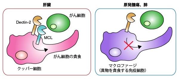 がんの肝転移を抑える新たなしくみを発見                                 Dectin-2タンパク質ががんに対する自然免疫応答を促す
