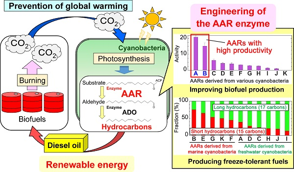 © 2016 Hisashi Kudo, Munehito Arai.Cyanobacteria remove carbon dioxide (CO2) from the air during photosynthesis and produce hydrocarbons that can replace diesel fuels. Alterations to the amino acid sequence of the cyanobacterial enzyme acyl-(acyl carrier protein) reductase (AAR) improve hydrocarbon production and serve to regulate the carbon chain length of the hydrocarbons produced.