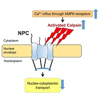 Disruption of molecule transport pathway between nucleus and cytoplasm involved ...